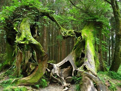 Old Growth Forest Hoh Rain Washington